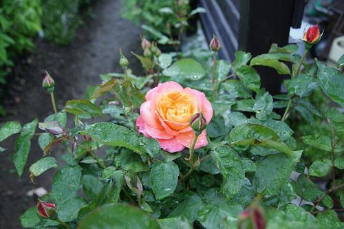 《バラ庭》ガーデンNOW~・・今朝の庭~雨の中。。。