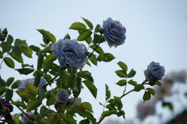 《バラ庭》ガーデンNOW~・・青系のバラ(^^♪