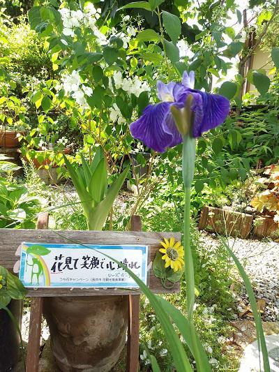 """《バラ庭》ガーデンつれづれ~・・「#うち花ながい」""""あやめ""""咲きました!"""