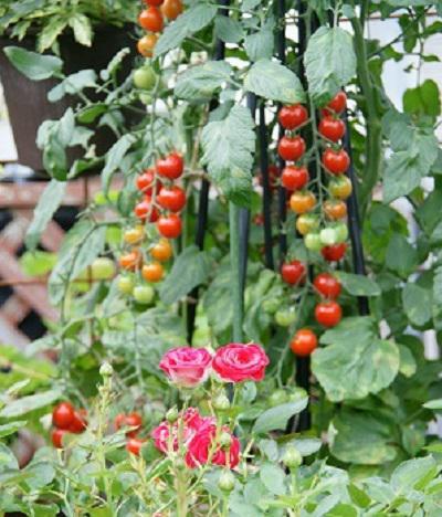 《バラ庭》ガーデンNOW〜・・トマトとバラのコラボ!!/
