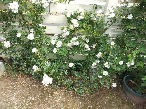 《バラ庭》ガーデンNOW〜・・きょうの庭〜(^^♪/