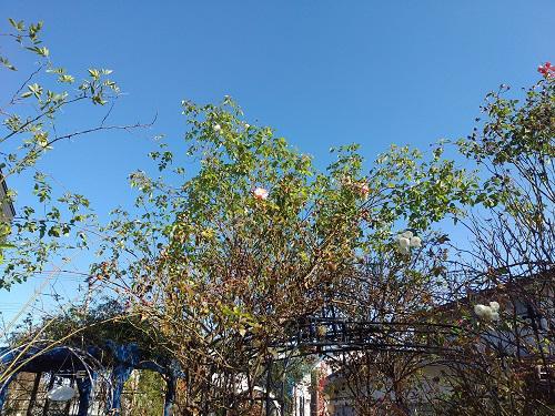 《バラ庭》ガーデンNOW~・・パイプで仮設小屋!