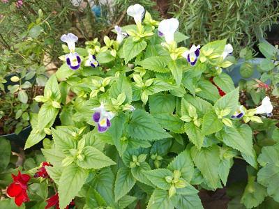 《バラ庭》ガーデンNOW~・・去年のこぼれ種。。。