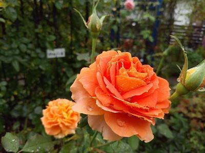 《バラ庭》ガーデンNOW~・・雨あがり、きのうの庭~