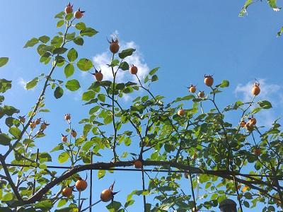 《バラ庭》ガーデンNOW~・・きょうの庭~青空が映えます(^^♪
