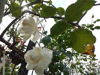 《バラ庭》ガーデンNOW~・・庭、いろいろと忙しいです!