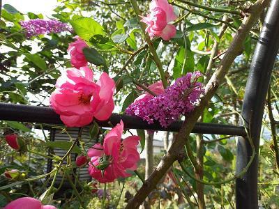 《バラ庭》ガーデンNOW~・・きのうの庭~(^^♪