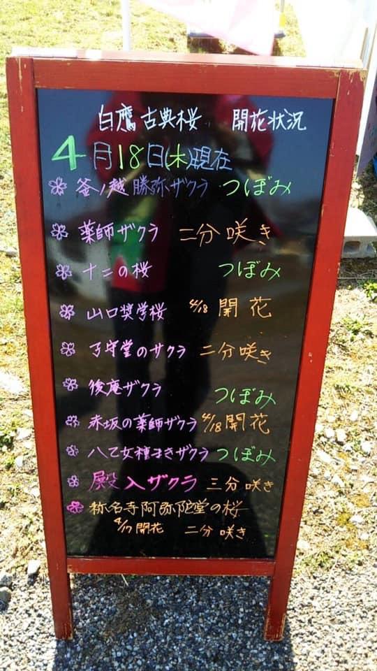 【4/18古典桜開花状況】:画像
