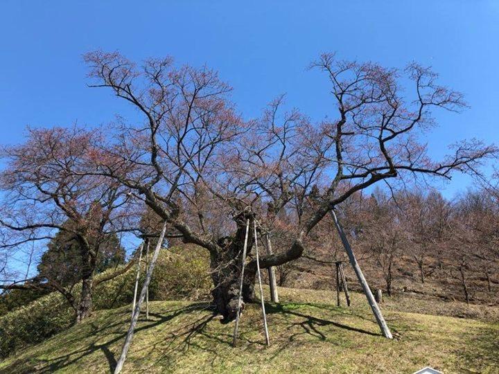 4/16 殿入ザクラ開花しました!:画像