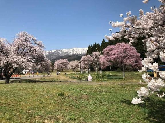 4/23 桜の開花状況:画像