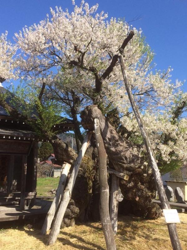 4/29 古典桜開花情報:画像
