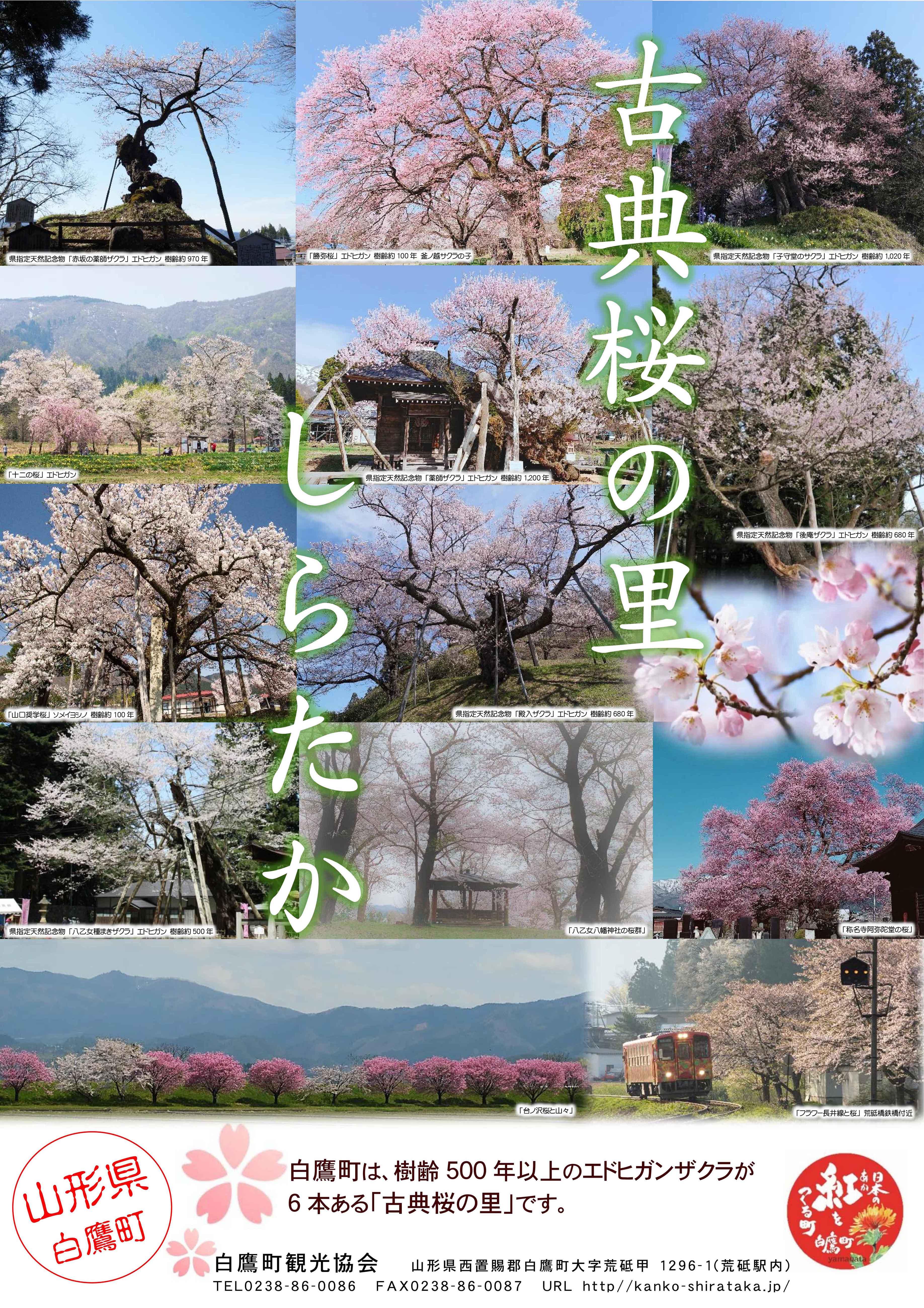 「古典桜の里しらたか」ポスターが出来ました
