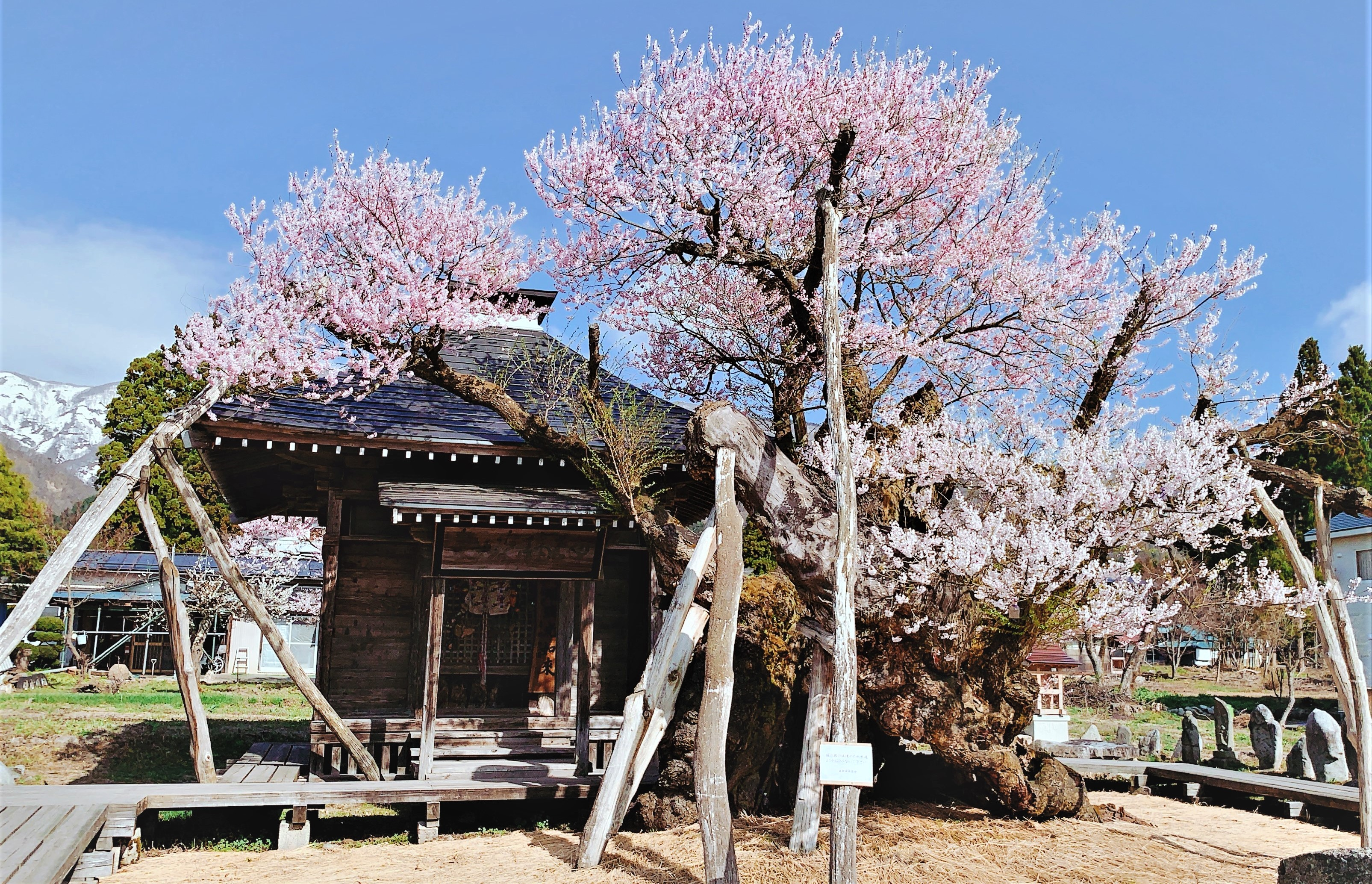 【しらたか古典桜の里さくらまつりの中止について】:画像
