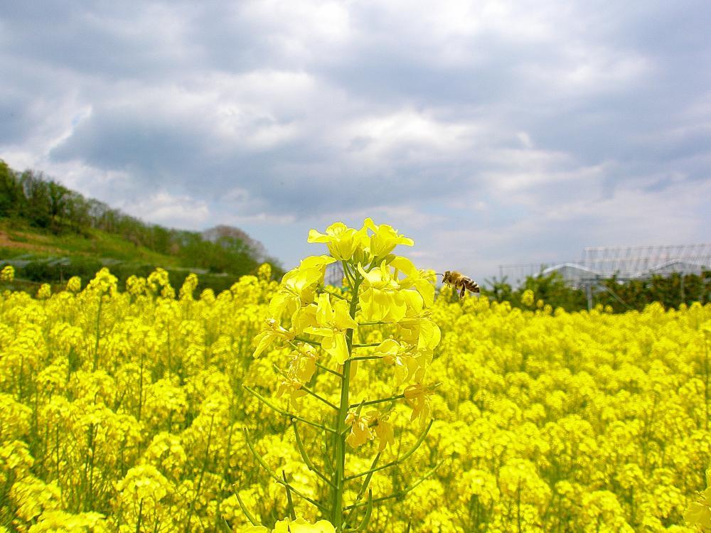 菜の花畑|山形牛焼肉専門店「舞鶴牧場」