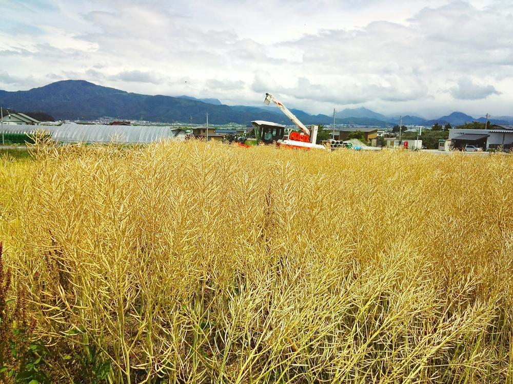 菜の花収穫|山形牛焼肉専門店「舞鶴牧場」