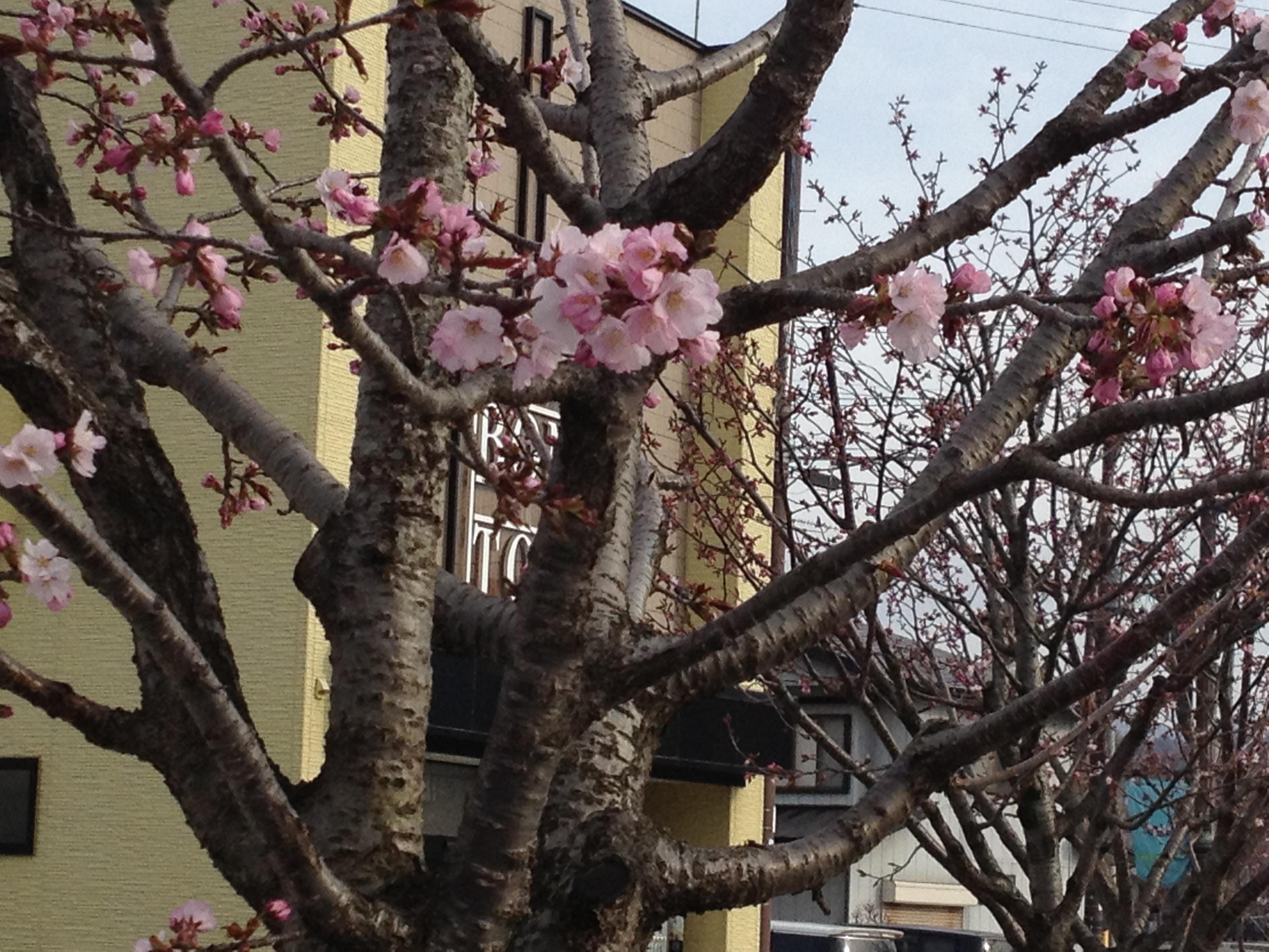 まほろば通りのさくら咲く