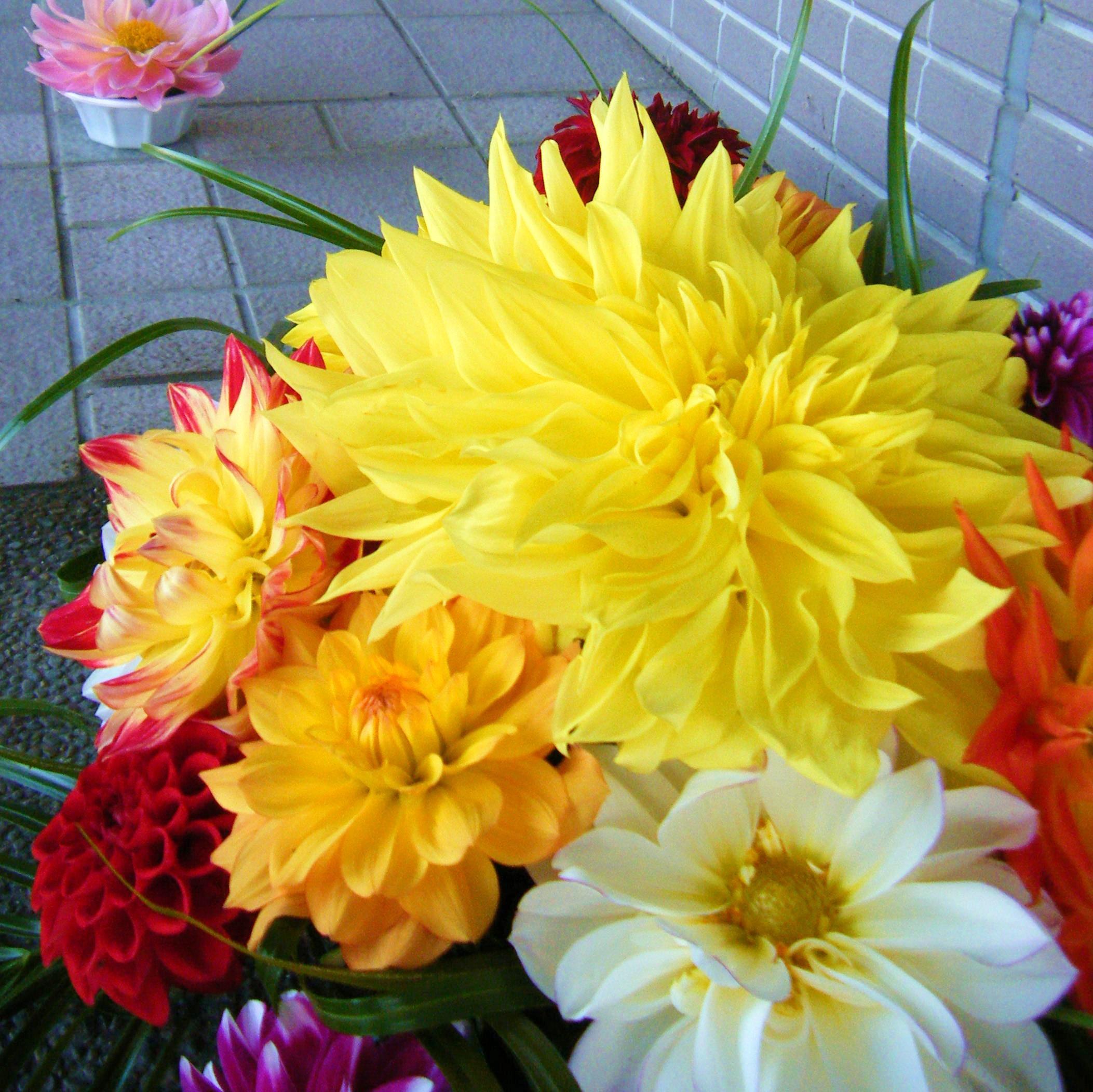 【川西ダリヤ園】敬老の日にダリヤの花を贈ろう!