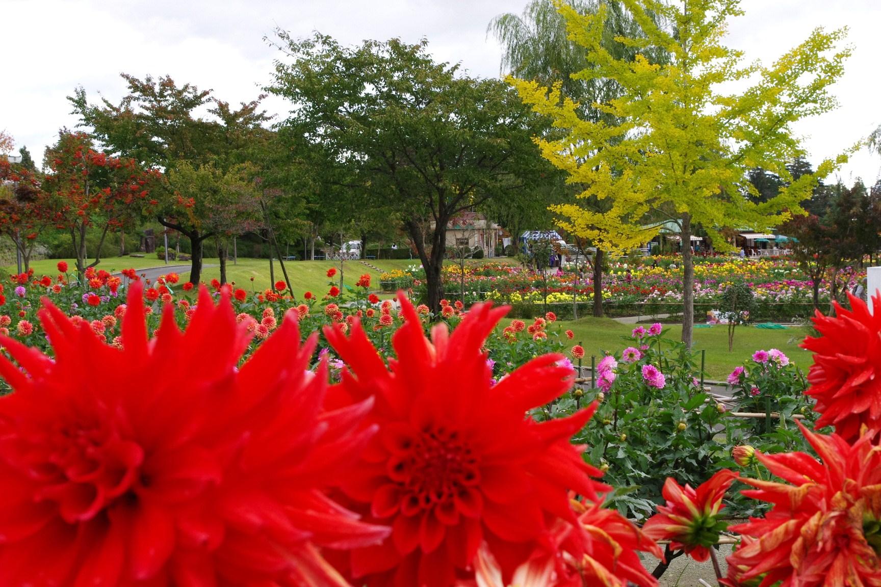 【川西ダリヤ園】ダリヤ切り花収穫デーのご案内