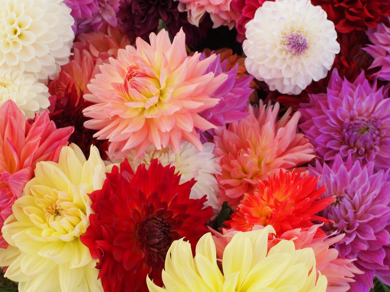 Kawanishi Dahlia Garden Guidance On Dahlia Cut Flowers Crop Day