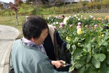 ダリヤ切り花収穫デーを開催します:画像
