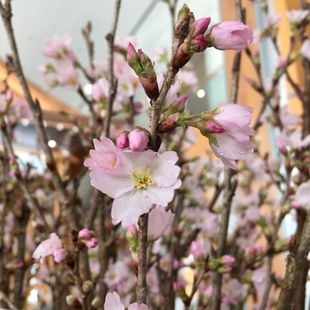 伝国の杜にも啓翁桜が開花しました:画像