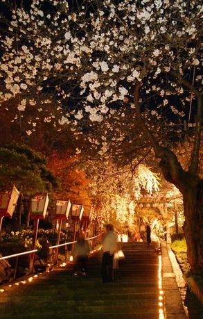 2011/04/29 21:11/烏帽子山千本桜/桜灯かりの回廊/幻想的ですごく綺麗だったよ