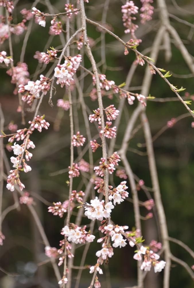 寺坂口の紅枝垂れ桜は開花しました。:画像