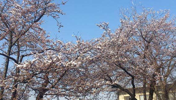 春の淡雪、雪桜がきれい!