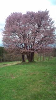 「西蔵王の大山桜がそろそろ見頃です」の画像