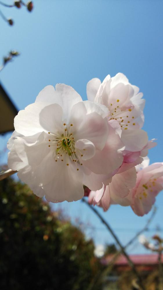 わが家の桜も咲きました!:画像