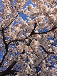 桜 咲く!!