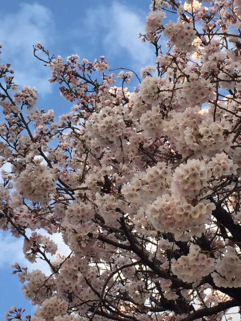 今年の桜です!