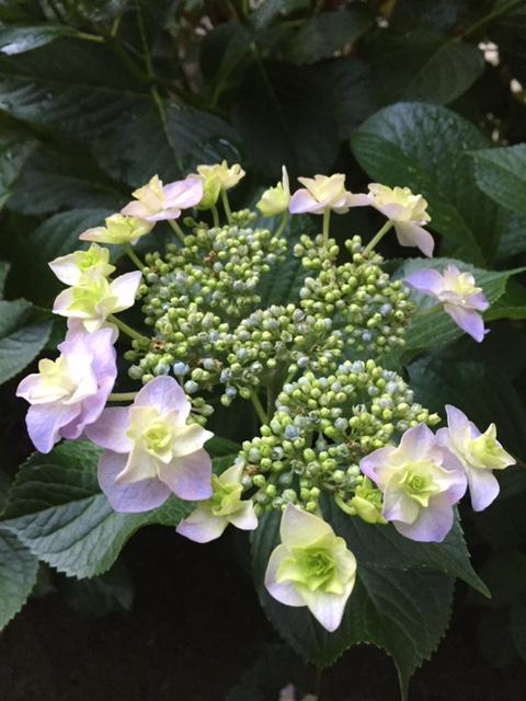 紫陽花!!:画像