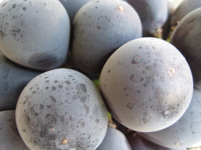 岡山県産《オーロラブラック》高糖度の新品種:画像