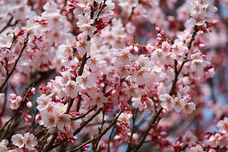 桜の開花情報が待ち遠しい