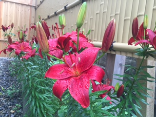 iris bloom we murder and tear flower sightseeing information