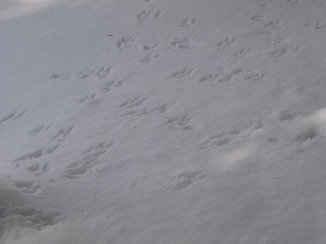 ホンドリスの足跡