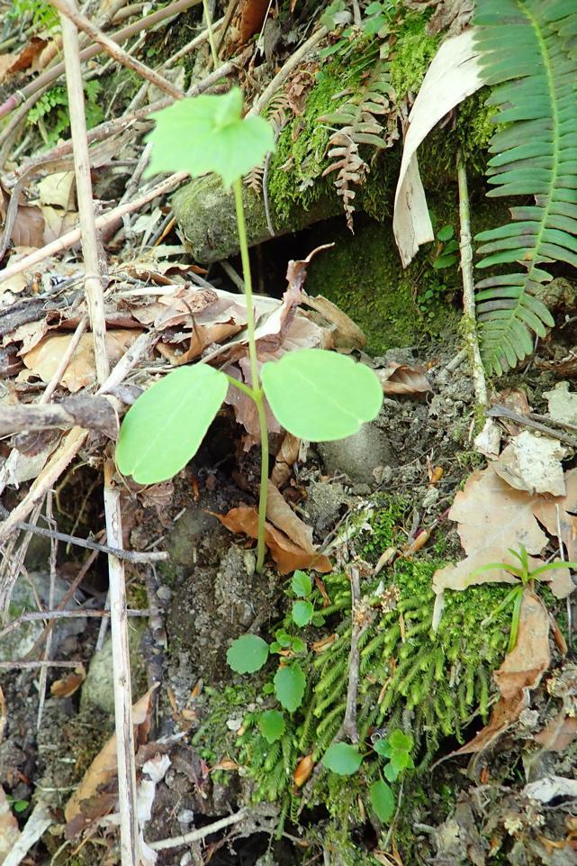 石跳川沿い ミヤマニガウリ