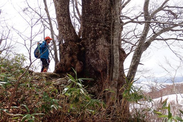 ミズナラの巨木