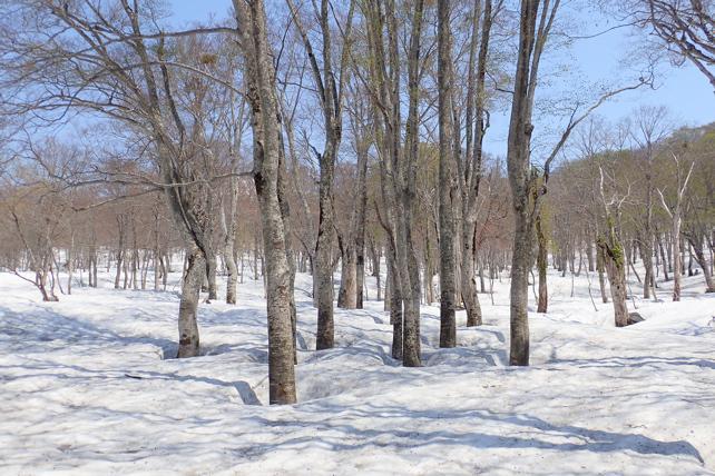 原生林は3mの残雪です
