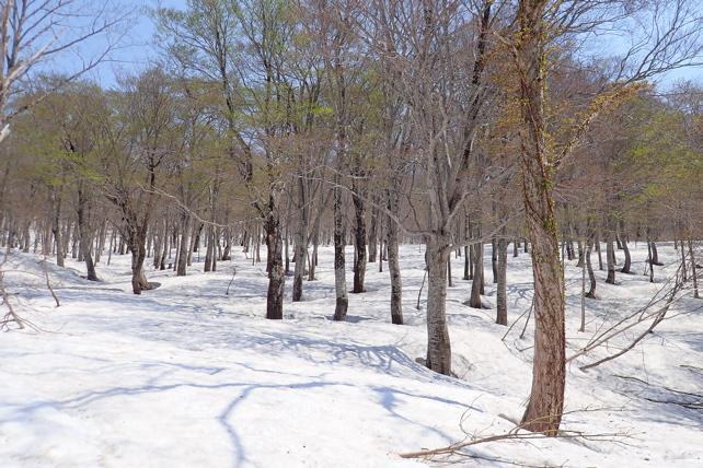 夏道から右側のブナ林