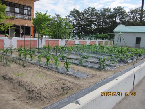 ジャガイモ、順調に生長しています。