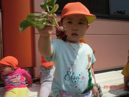 2歳児 ラディッシュを収穫しました。