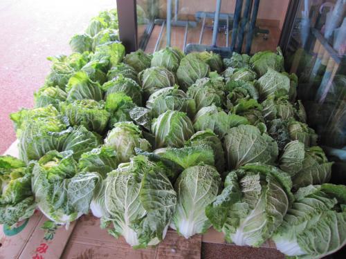 白菜収穫しました。