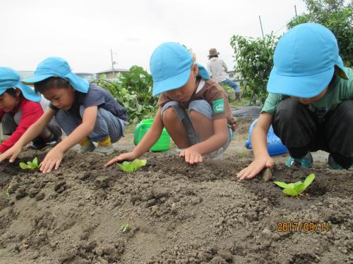 秋野菜の種まきと苗植え