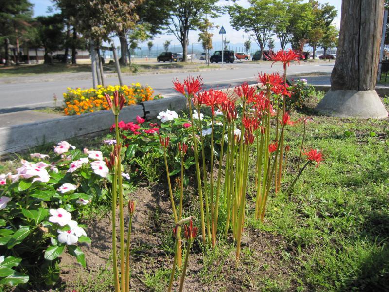 彼岸花が咲きました