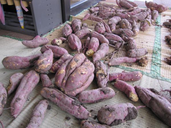 芋掘りをしました。 サツマイモ 編