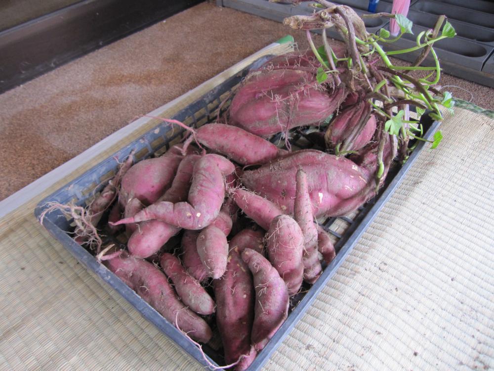 サツマイモ 袋栽培