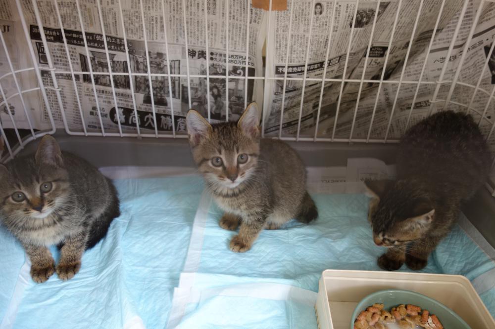 【急募】 子猫を飼って下さる方、ご連絡下さい!