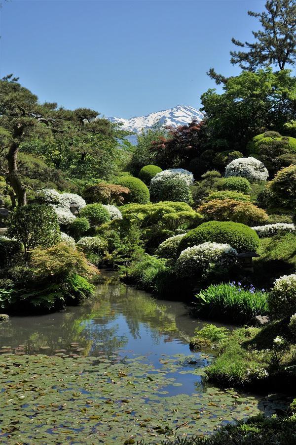 鶴舞園の白ツツジが見ごろを迎えました。